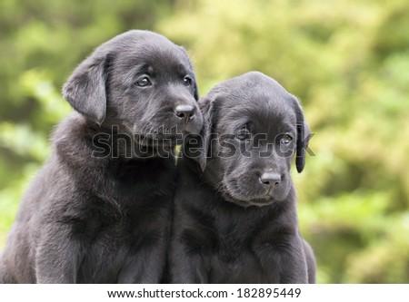 Cute black Labrador Retriever puppies looking - stock photo