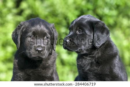 Cute black Labrador Retriever puppies looking at the camera - stock photo