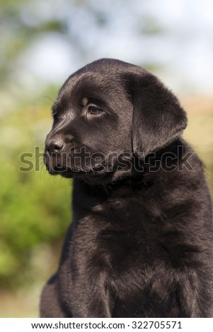 Cute black Labrador Retriever puppy looking - stock photo