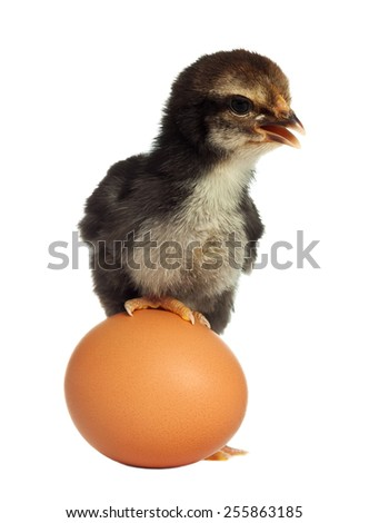 Cute black little chick with egg - stock photo