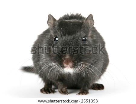 Cute black male rodent isolated on a white background, macro close up with copy space - stock photo