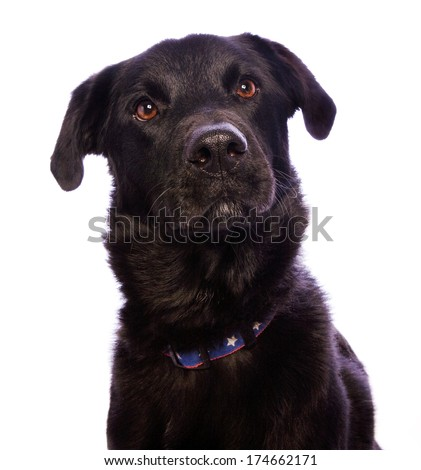 Cute black mutt dog head shot isolated on white