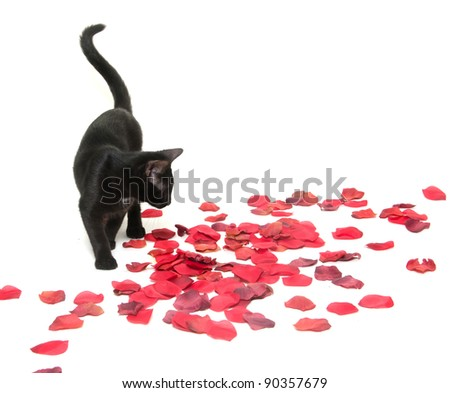 Cute black pet cat with rose petals on white background - stock photo