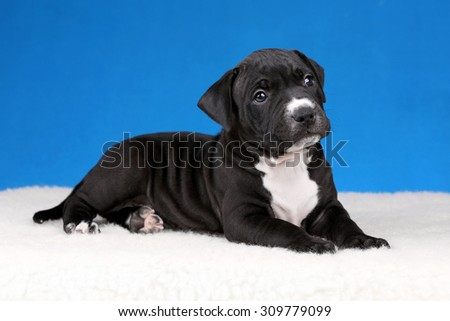 Cute black puppy on a blue background