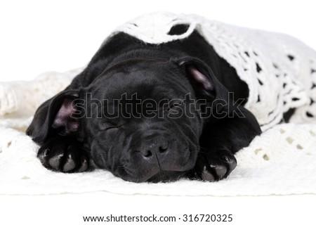 Cute black puppy sleeping - stock photo