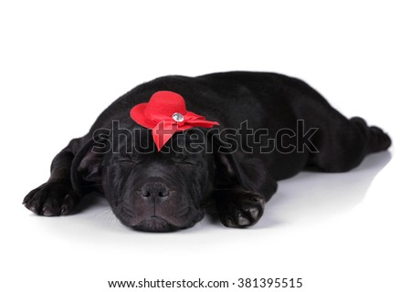 Cute black puppy sleeping in a hat, lying on a white background - stock photo