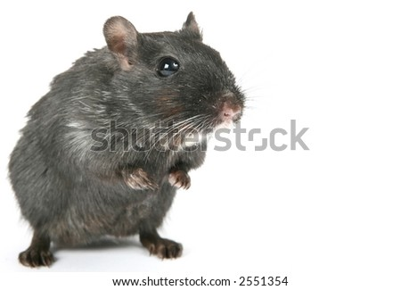 Cute black rodent isolated on a white background, macro close up with copy space - stock photo