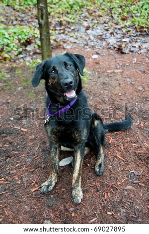 Cute Black Shepherd Mix Puppy Sitting During Training - stock photo