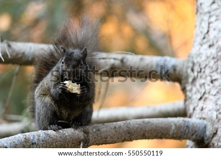 Cute black squirrel with fluffy tail is standing on on a branch eating food