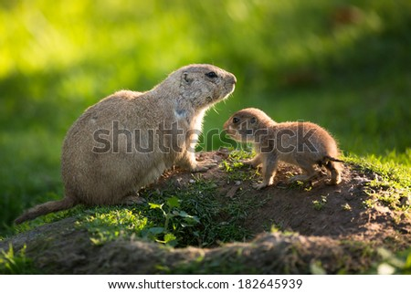 Cute black tailed prairie dog with a youngster (Cynomys ludovicianus) - stock photo
