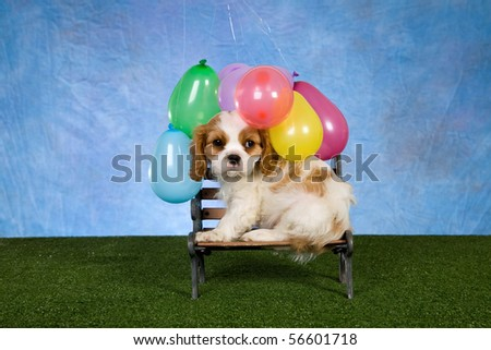 Cute Blenheim Cavalier King Charles Spaniel with balloons on green lawn