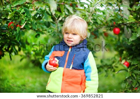 Cute blond boy of two years eating red apples in an orchard. - stock photo