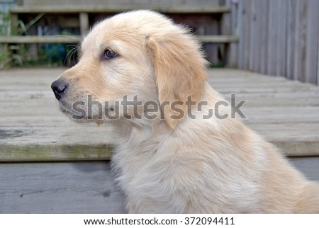 cute blond golden retriever on weathered wooden step - stock photo