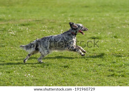 Cute blue belton English Setter dog is running fast cross on a spring flowering meadow - stock photo