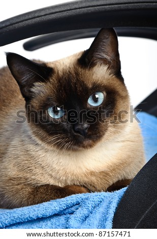 cute blue-eyed siamese cat sitting on chair