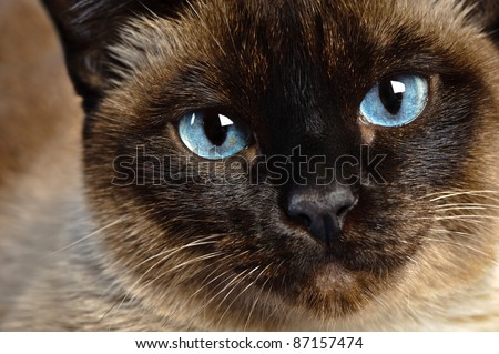 cute blue-eyed siamese cat sitting on chair - stock photo
