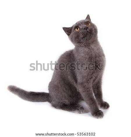Cute blue shorthair kitten sitting looking up on white - stock photo