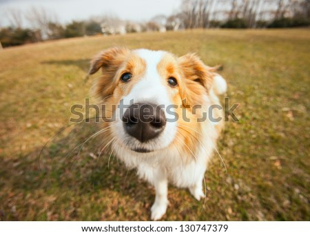 Cute border collie puppy dog closeup outside - stock photo