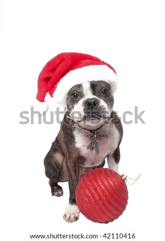 Cute Boston Terrier in a santa hat and an over sized ornament. - stock photo