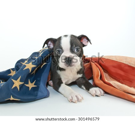 Cute Boston Terrier puppy laying down with an American flag draped over him, on a white background.