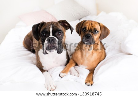 Cute Boxer Dog and His Buddy Puggle - stock photo