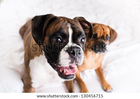 Cute Boxer Dog and His Buddy Puggle on Background - stock photo