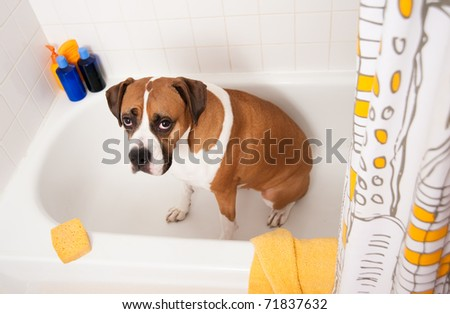 Cute Boxer Dog Sitting in Bathtub Waiting to be Washed - stock photo