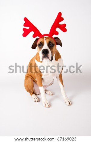 Cute Boxer Mix Female Dog Wearing Christmas Reindeer Antlers on White Background - stock photo