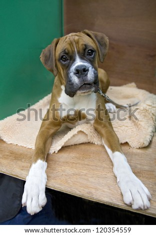Cute Boxer pup lying down - stock photo