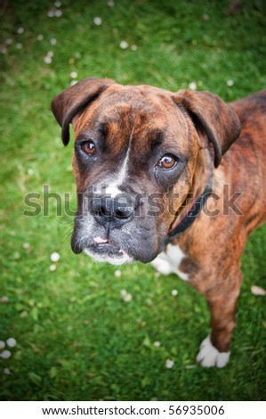cute boxer young dog outside on green grass - stock photo