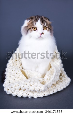 cute british cat in woolen scarf sitting over grey background - stock photo