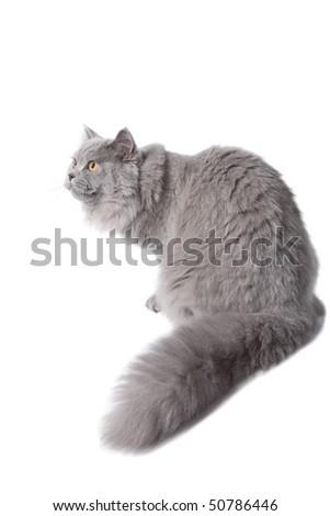 cute british cat isolated - stock photo