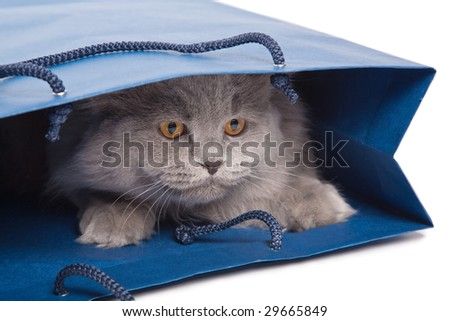 cute British kitten in blue bag isolated - stock photo