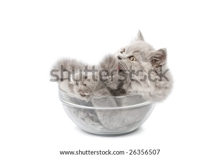 cute british kitten in glass bowl isolated - stock photo