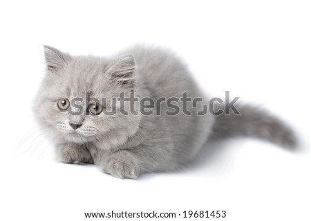 cute british kitten isolated - stock photo