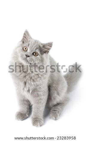 cute British kitten isolated - stock photo