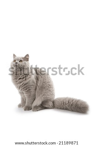 cute British kitten looking up isolated - stock photo