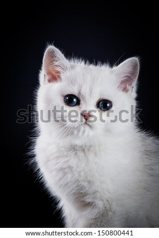 cute British kitten on a dark background with big eyes