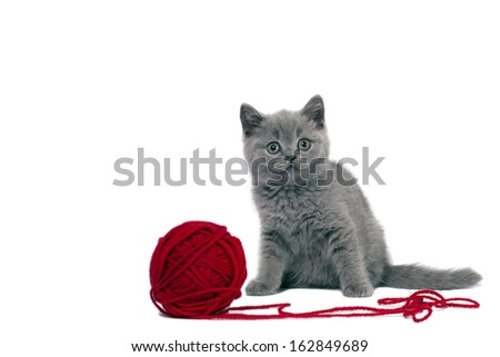 Cute british kitten playing with ball of red yarn on white background.  - stock photo