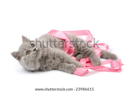 cute british kitten playing with pink ribbon isolated - stock photo