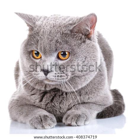 cute British Shorthair cat isolated  on  white background - stock photo