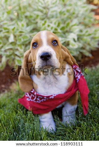 Cute brown and white Basset Hound puppy outdoors in the green grass wearing red bandana scarf - stock photo
