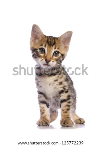 Cute brown Bengal kitten with big eyes  isolated on white background - stock photo