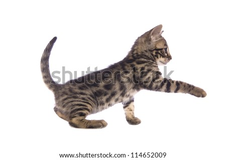 Cute brown Bengal kitten with paw up sideview isolated on white background - stock photo