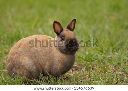 Cute brown Bunny in grass - stock photo
