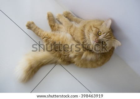 Cute brown cat pet sitting, adorable kitten looking at camera. furry mammal isolated on white background, top view of cat - stock photo