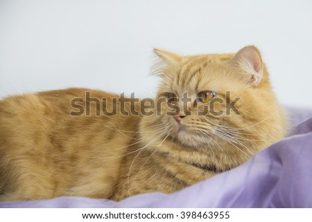 Cute brown cat pet sitting, adorable kitten looking at camera. furry mammal isolated on white background, medium close up portrait cat - stock photo
