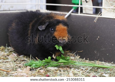 cute brown cavy bright green grass feeding - stock photo