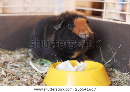 cute brown cavy near the dish - stock photo