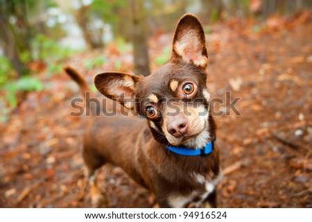 Cute Brown Chihuahua Mix Puppy Enjoying Walk in Park - stock photo